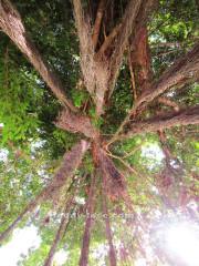 Баньяновое дерево Wat Chaeng samui Храм Ват чаенг