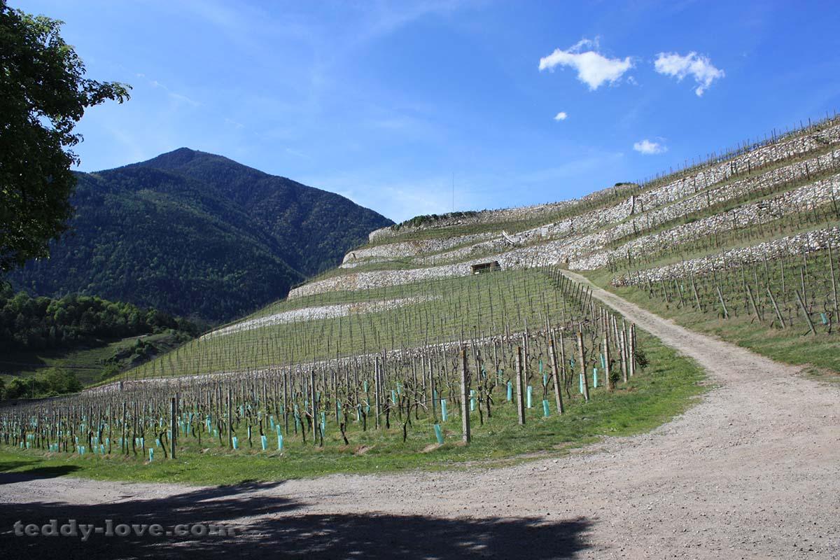 Самый северный виноград Италии