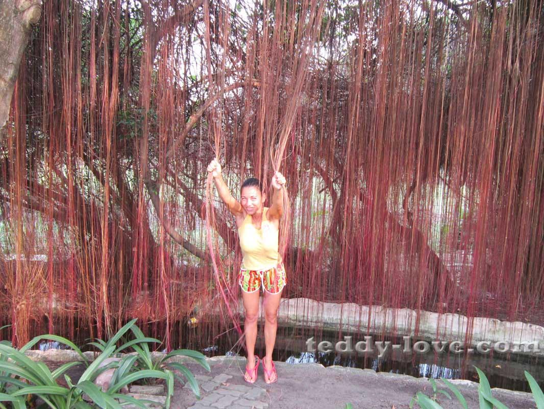 Воздушные корни чудесатого дерева