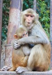 Храм обезьян в Индии, Джайпур, Дворец обезьян, достопримечательности Индии