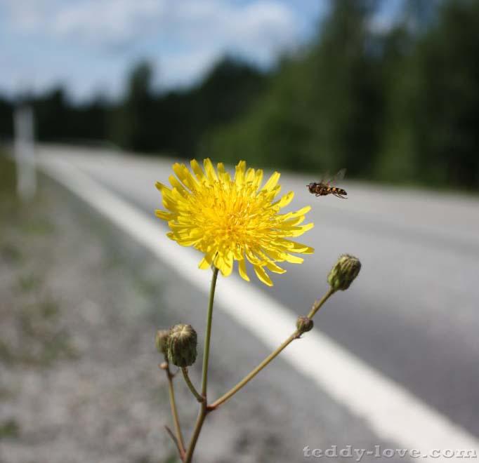 Цветок, пробившийся через асфальт