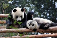 Центр исследования панд в Ченду