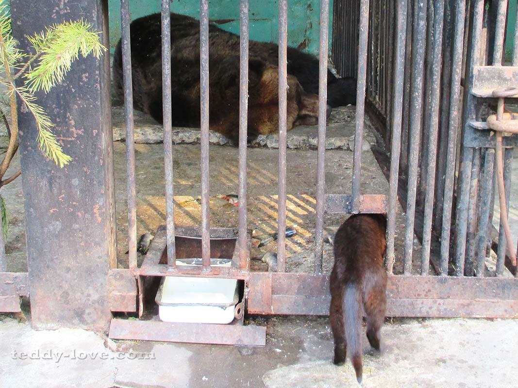 Ворюга объел медведя