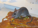 мыши Таиланда, мыши на самуи,как избавиться от мыши на самуи
