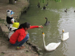 Лебедей можно кормить с рук