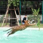 Отзыв о Парке Тигров Tiger Park в Паттайе
