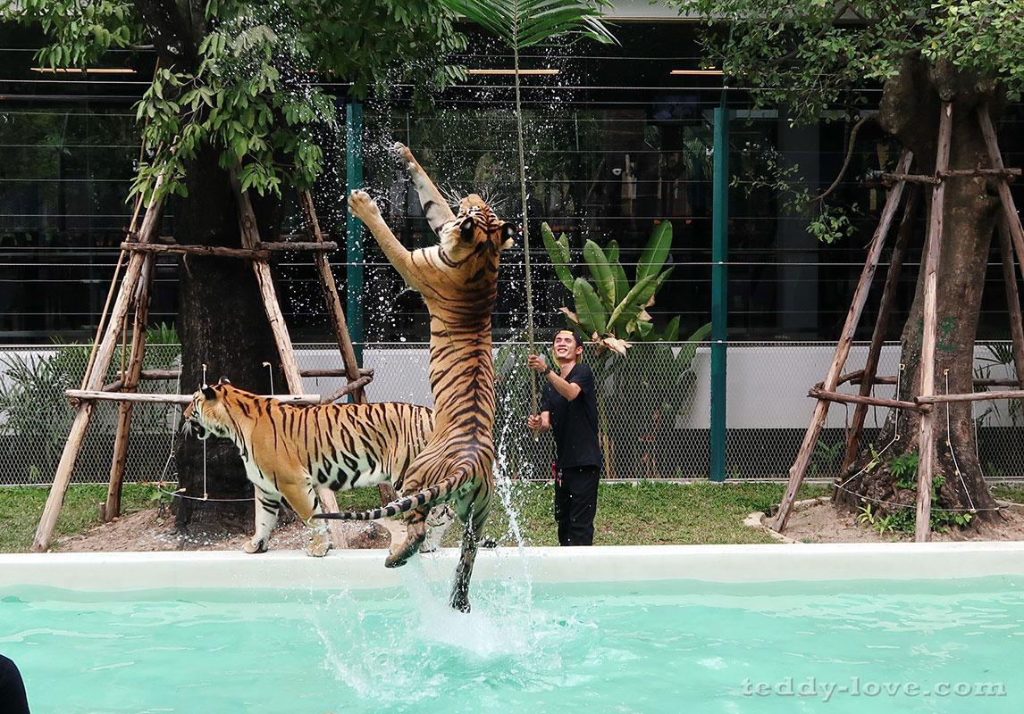 тигров заставляют попрыгать