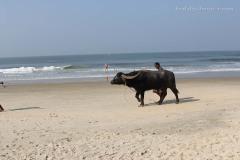 Коров на пляж приводят  гулять и мыться на привязи
