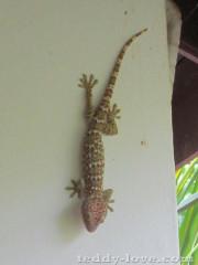 Тукей Таиланд, животные Таиланда, ящерицы Таиланда, большая ящерица