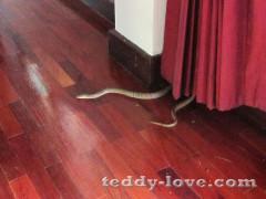 Змея в Таиланде